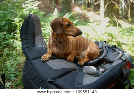 Hiking Dachshund