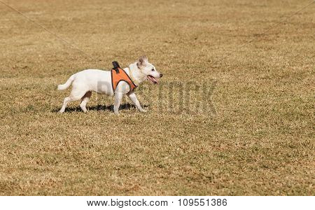 Elderly Jack Russell dog