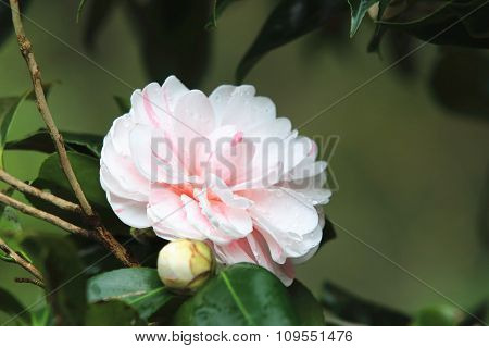 Pink with white Camellia flower