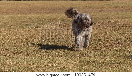 Poodle mix playing