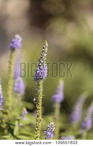 Purple lavender Lavandin flower,
