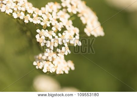 White yarrow flower, achillea millegolium