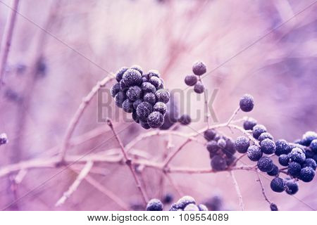 Berries Of Wild Privet In Hoarfrost