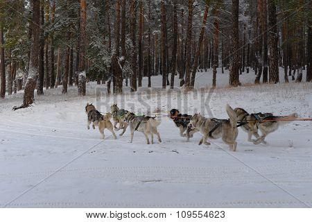 Running team of sled dogs of six Siberian Huskies