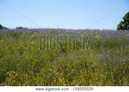 Summer Field With Cornflowers