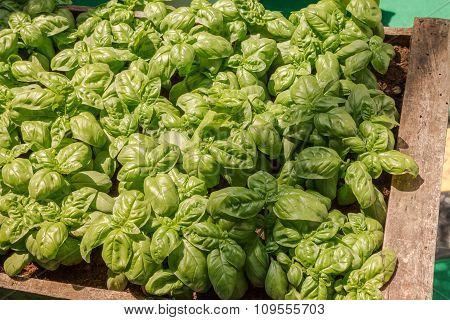 Close Up Of Big Green Basil Leaves