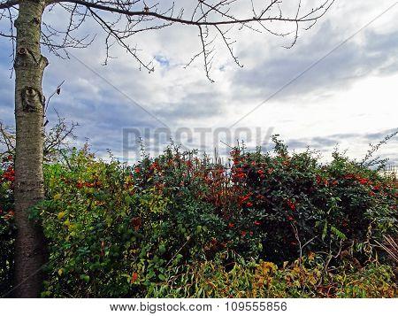Rose Hip Tree in A Garden in Autumn