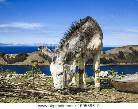Donkey On Isla Del Sol, Titicaca Lake