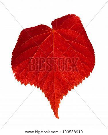 Red Tilia Leaf