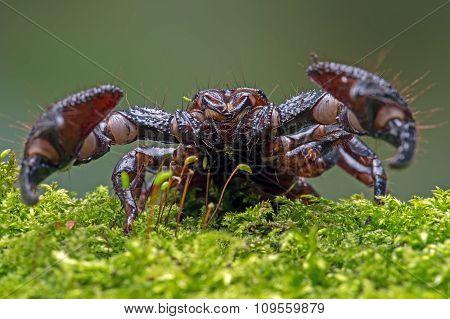 Emperor Scorpion(Pandinus Imperator)
