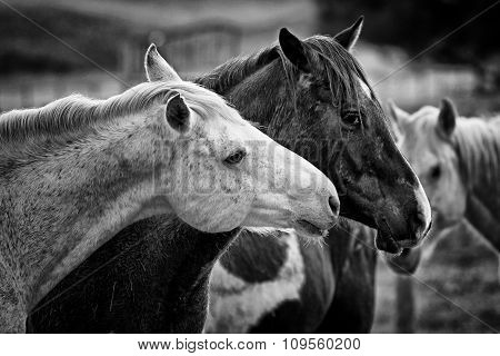 Black And White Shot Of Two Horses