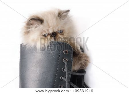 Cat In Boots - Himalauan Cat In Combat Boot