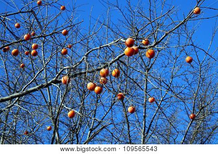 Persimmons in a Tree