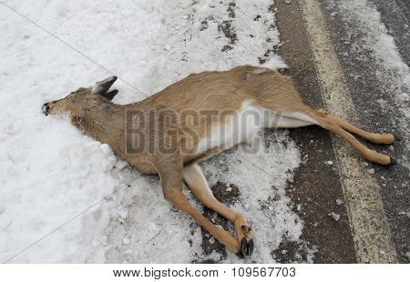 Deer Car Kill