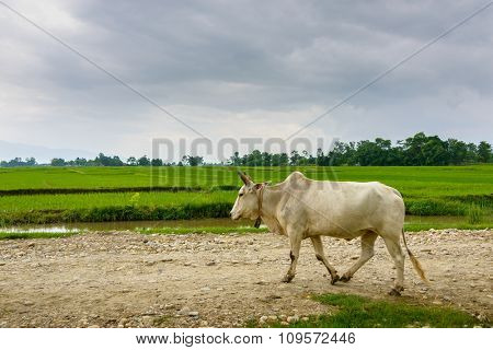 Cow walking on a trail, rice paddy fields in the background, in Terai, Nepal
