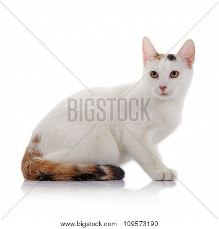 White Domestic Cat With A Multi-colored Tail