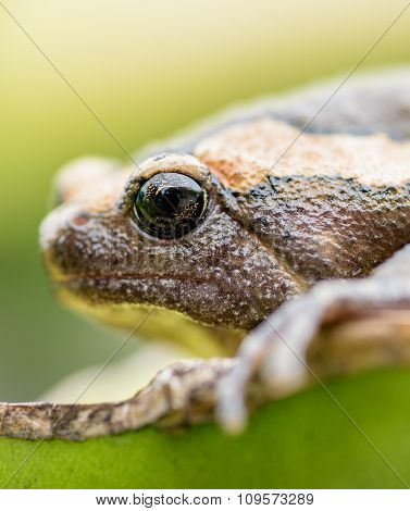 Amphibians Living In Asia, Asian Frogs And Toads