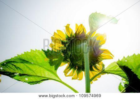 Sun flower.  Backside