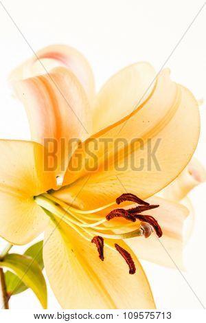 nice lily