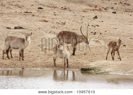 Waterbuck Family At The Waterhole