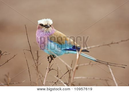 Lilac Breasted Roller In Thorn Bush