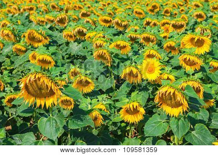 Landscape view of Sunflower field on a sunny day, with one flower looking up