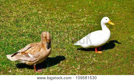 Pekin Duck and Northern Pintail: Best Friends