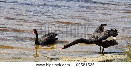 Australian Black Swans: Long Reach