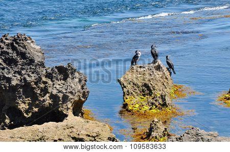 Australian Wildlife: Pied Cormorants
