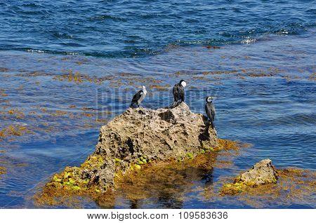 Australian Pied Cormorants: Cape Peron, Australia