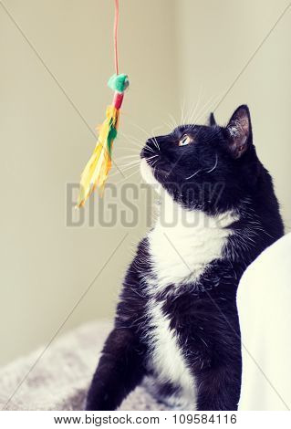 pets and playing concept - black and white cat playing with feather toy