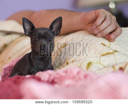 Chihuahua Awake in Bed