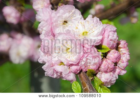 Cherry Blossoms On Blurred Background