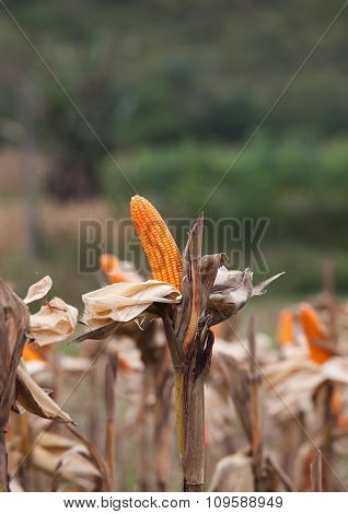 Corn on the field in time of harvest