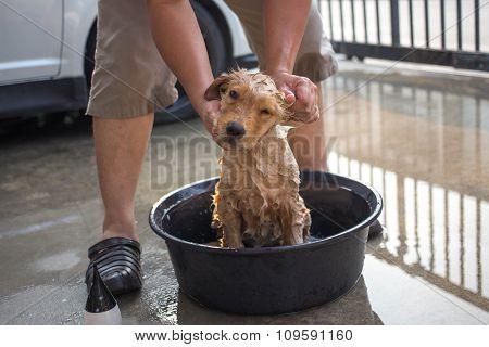 Golden Retriever Gets A Bath