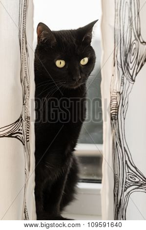 Black Haired Cat Sitting On Window And Looking Through Curtains