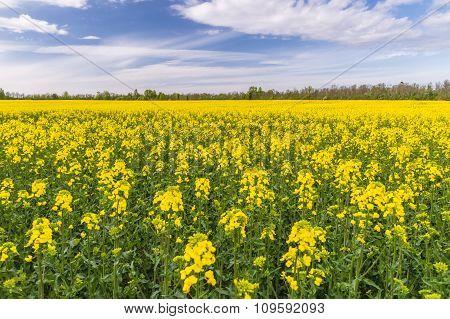 Wide Oilseed Rape Field Under Cloudscape