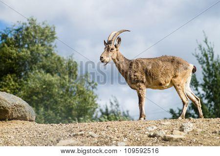 Young Mountain Goat Or West Caucasian Tur (capra Caucasica)
