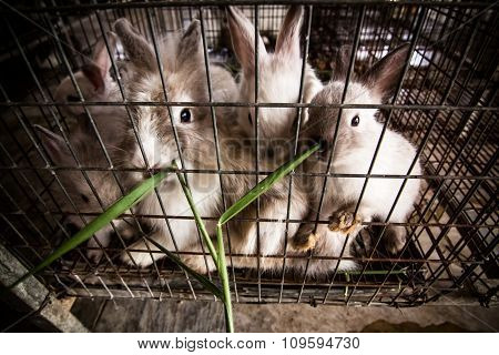 Feeding Grass Rabbits In Cages.