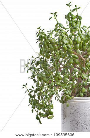 Crassula In Indoor Pot..