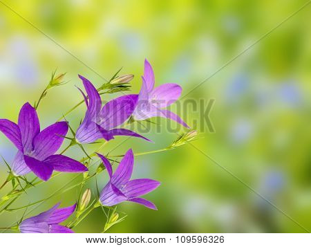 Violet Bellflower On The Green Background