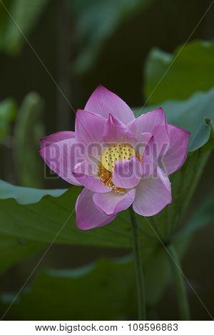 Lotus flower in Asia