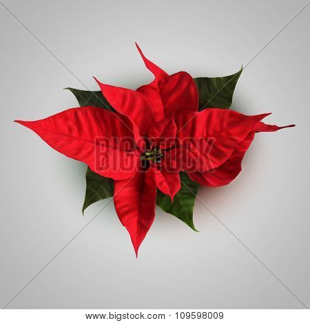 Vector Poinsettia Flowers For Decoration