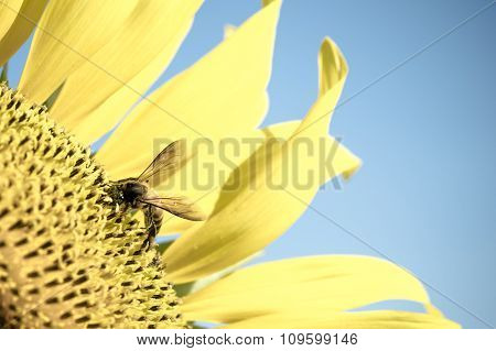 Sun flower and Bee