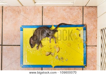Rat Captured On Disposable Glue Trap Board On Kitchen Floor