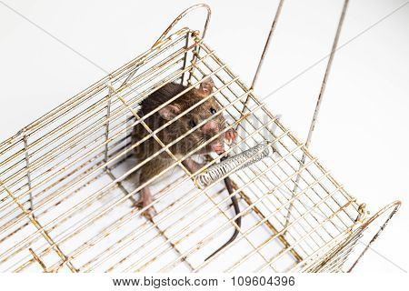 Top Angle Shot Of Anxious Rat Trapped In Metal Cage