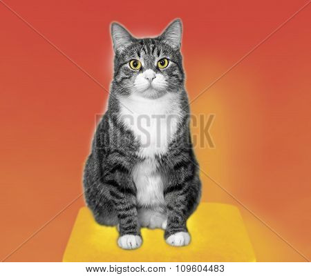 Grey Cat On Orange-yellow Background