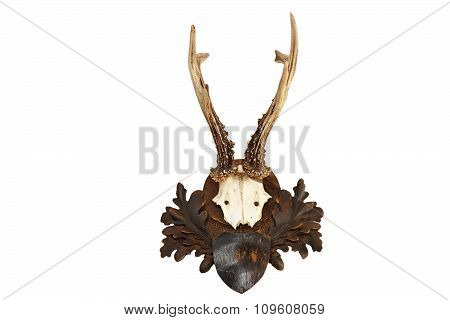 Beautiful Roebuck Hunting Trophy
