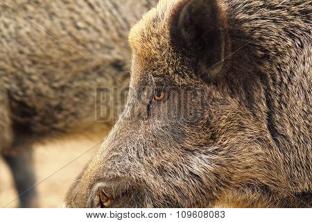 Close Up Of Wild Boar Head