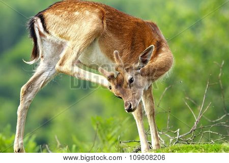 Fallow Deer Scratching Because Of Flies And Ticks